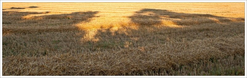 plaine moisson ble coupe ombre arbres matin 240716