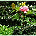 Rose 020515