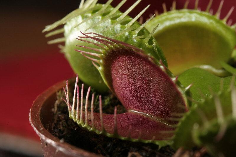 1280px-Dionaea_muscipula_trap