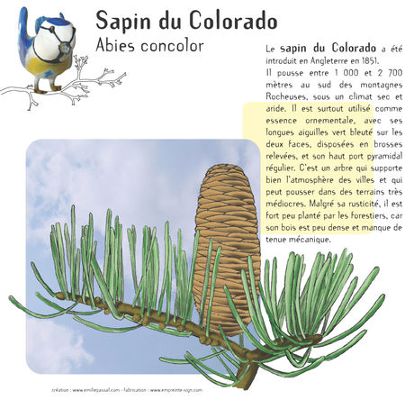 20_sapin_Colorado