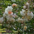 Rosa (x) multiflora 'Ghislaine de Féligonde'