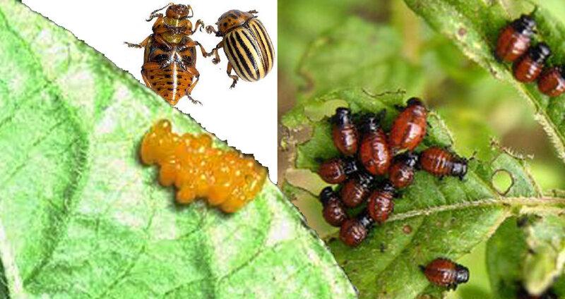 doryphores, oeufs, larves, adultesjpg