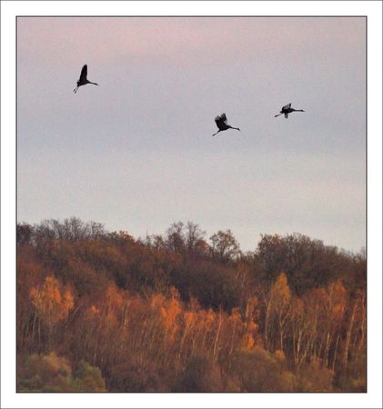Montier_lulu_grues_arrivee_bois_couleurs_automne_191110