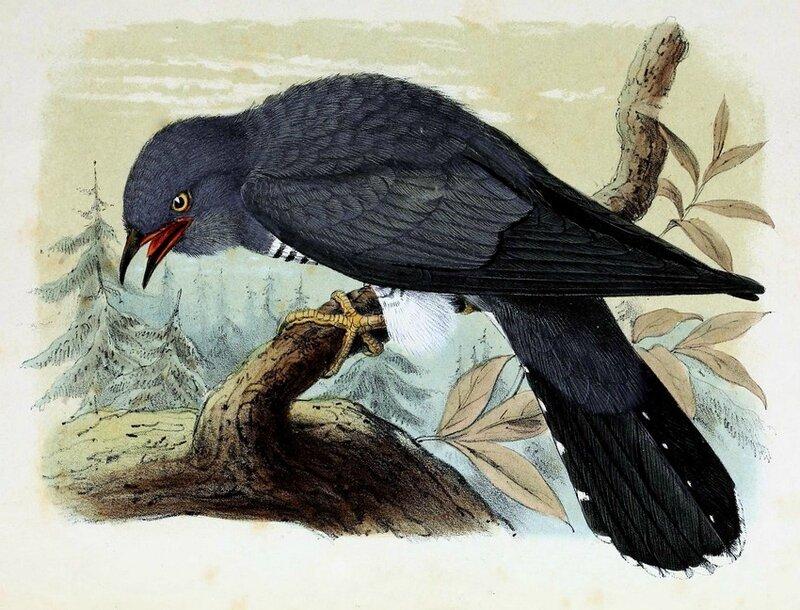 Cuculus canorus 1873 - John Gerrard Keulemans
