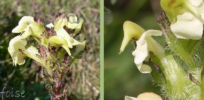 fleurs spiralées autour de leur axe corolle glabre lèvre supérieure à bec long