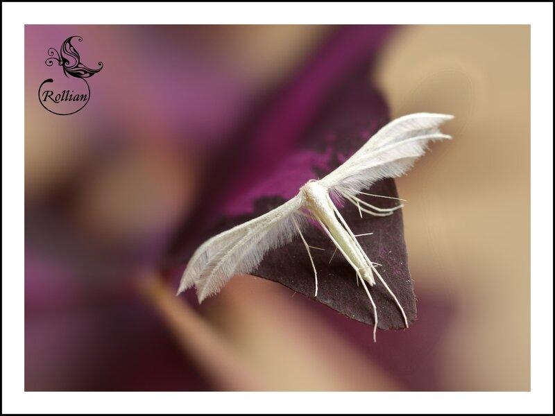 le Pterophore blanc