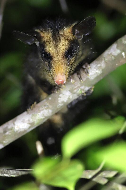 Didelphis marsupialis - jeune émancipé