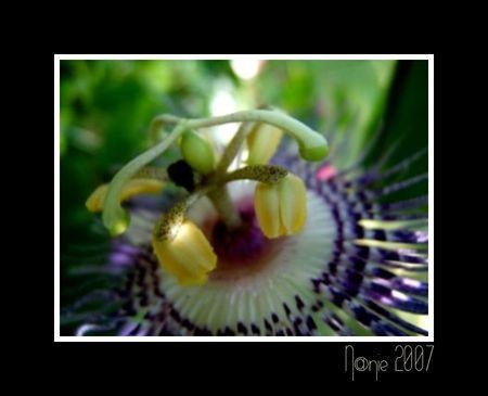 fleur_de_la_passion