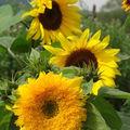 2008 09 09 3 tournesols, dont le premier un tournesol sungold