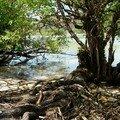 Curieuse, mangrove