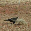 Wedge Tail Eagle. Un aigle quoi.
