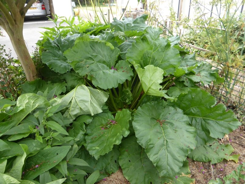 13-rhubarbe (2)