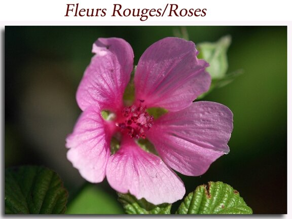 Rouges-Roses