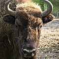 Réserve de bisons d'europe dans le canton de vaud : la balle dans le camp des autorités suisses