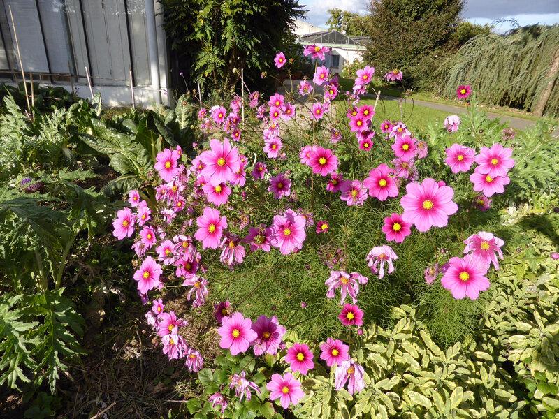 6-fleurs, cosmos (1)