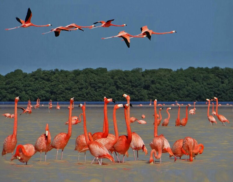 Flamants roses 800-72