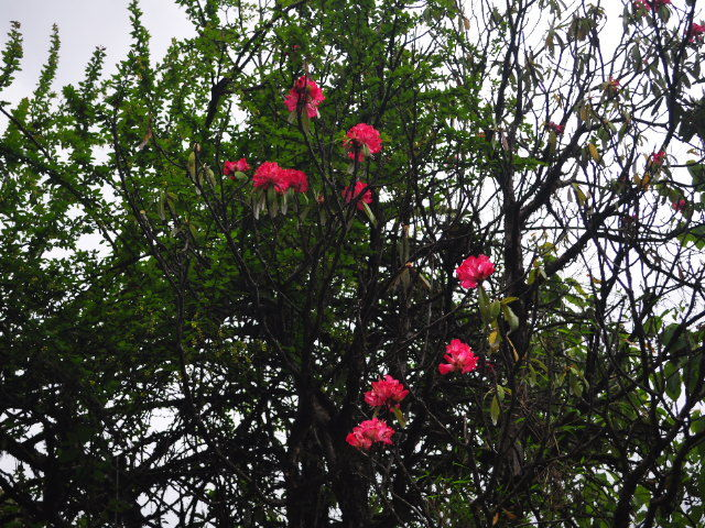 Rhododendrons, J5