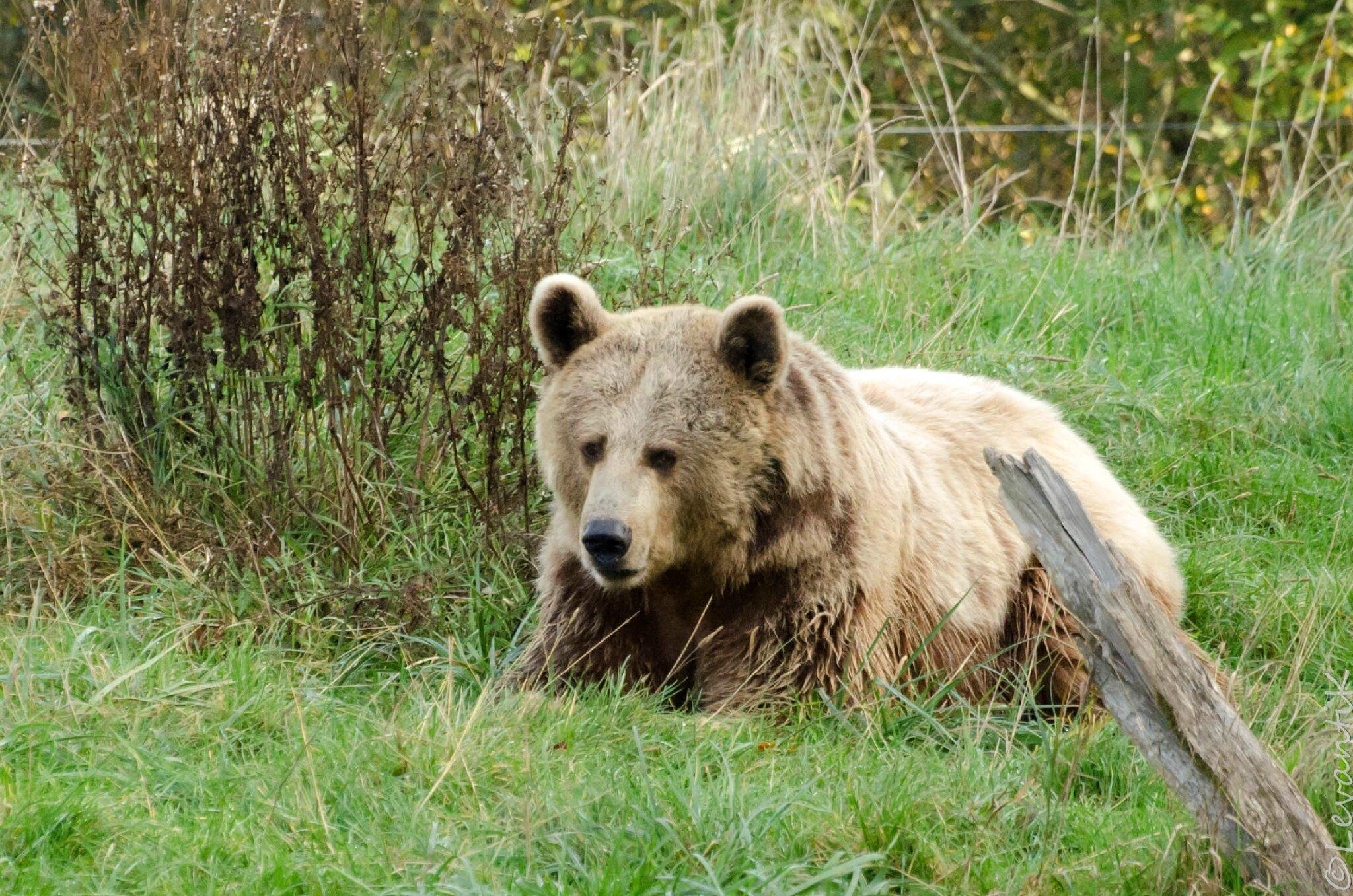 Ours brun - Ursus arctos (1)