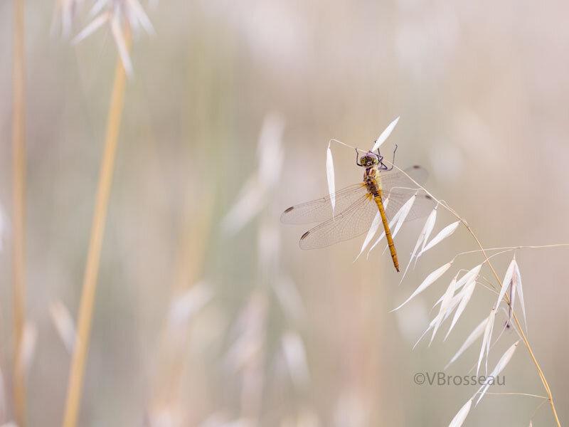 libellule-graminées