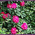 Rhododendron 020515