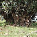 figuier sycomore en Ethiopie