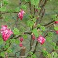 Cassis fleur