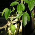 Holboellia coriaceae