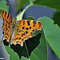 Un beau papillon qui cache l'effigie d'un diable