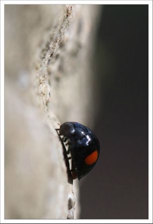 Galuchet coccinelle 2 points 3 250312
