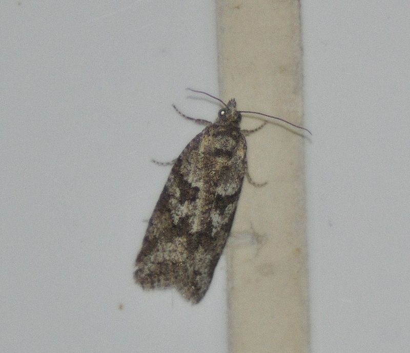 Cnephasia sp