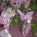 table lilas 038