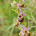 Les ophrys du Gers 2014