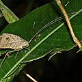 Pterochroza ocellata (mâle)