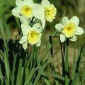 Narcisse ice follies