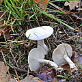 Clitocybe candicans (2)