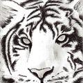 tigre057