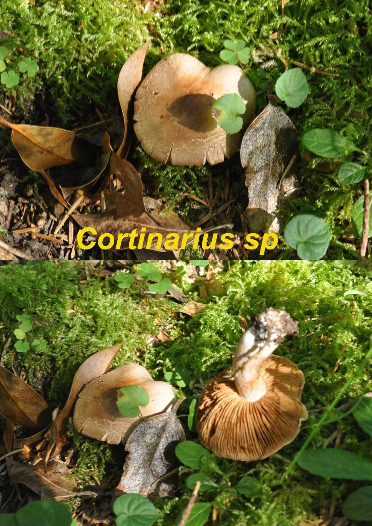 Cortinarius sp