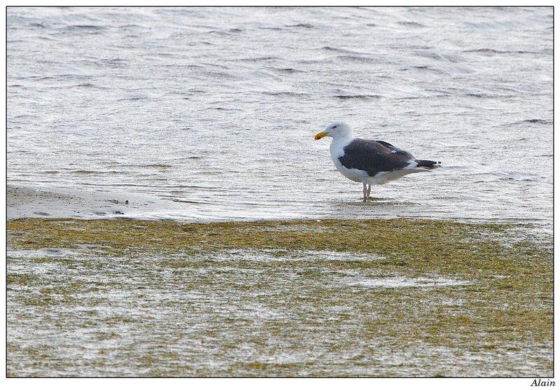 goéland marin prenant son bain de pattes