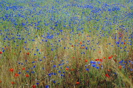 Fleurs des champs en été (2)