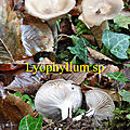 Lyophyllum sp
