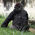 Le gorille de l'ouest