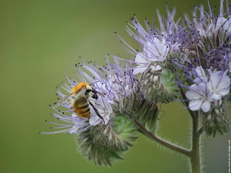 phacélie et abeille