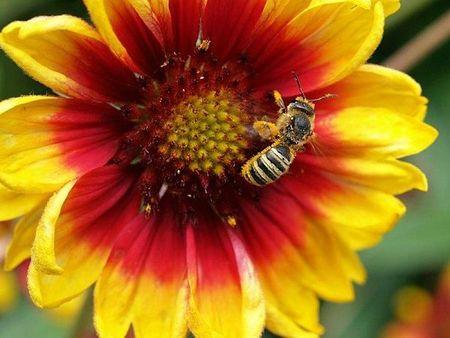 fleurs-jardin-labeille-butineuse-L-1