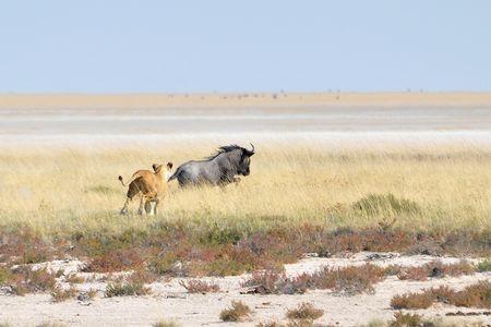 Lionne chassant un gnou, parc d'Etosha, Namibie (1)