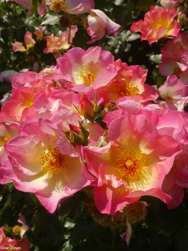 Rose à coeur jaune