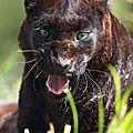 Panthère noire zoo de Pessac