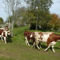 2008 10 13 Les vaches qui vont au près