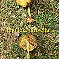 Pholiota aurivella