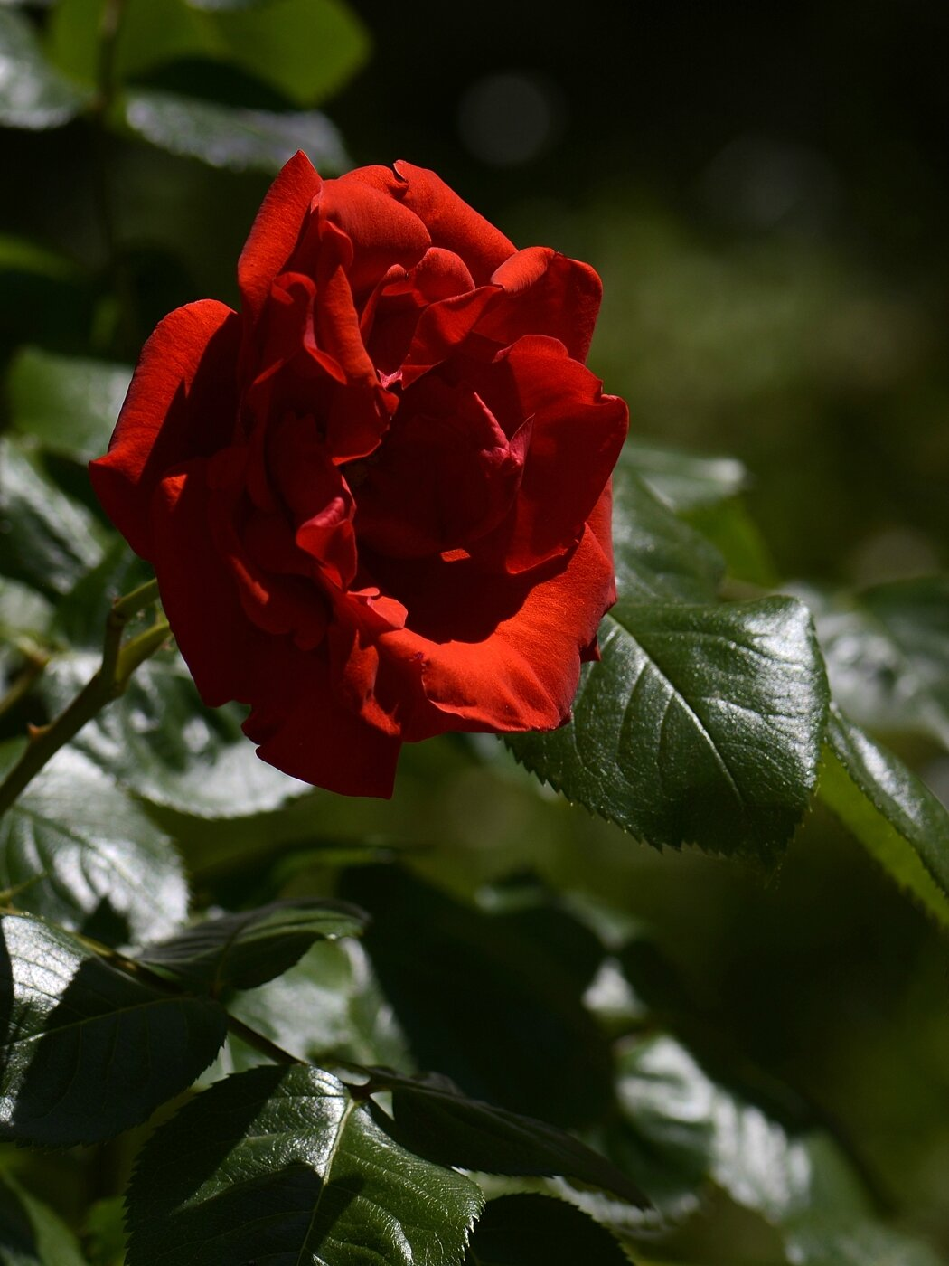 Rose rouge 5