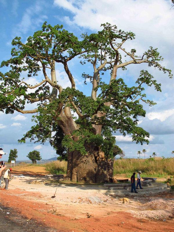 l'arbre de Brazza à Dolisie